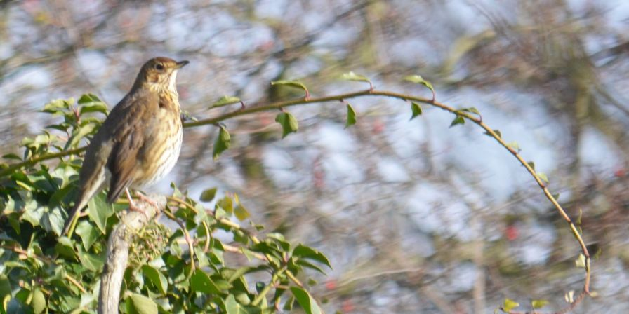 Thrush on song