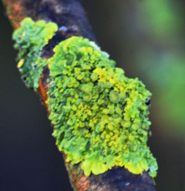 Brilliant green lichen