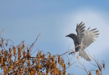 Crow coming in to land