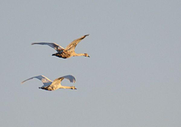 Swans ...