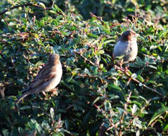 Sparrows in a hedge