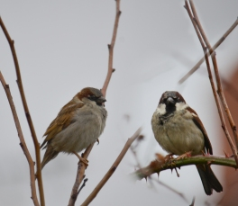 Composite sparrows