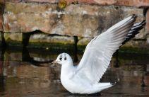 Beautiful white gull