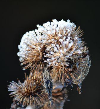 Frost on burdock