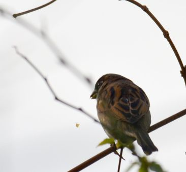 Sparrow - not as common as they used to be