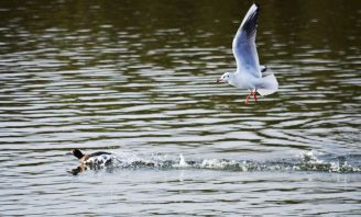 Gull in ongoing pursuit of a tufty