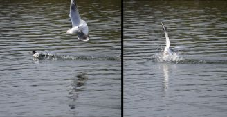 Gull really wants that tufty