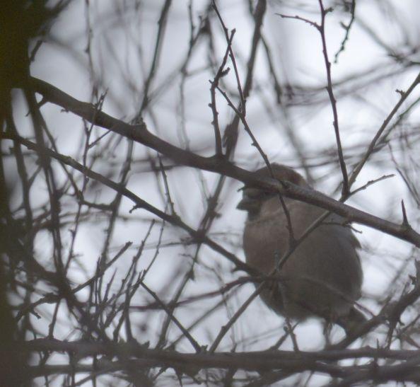 Sparrow hiding