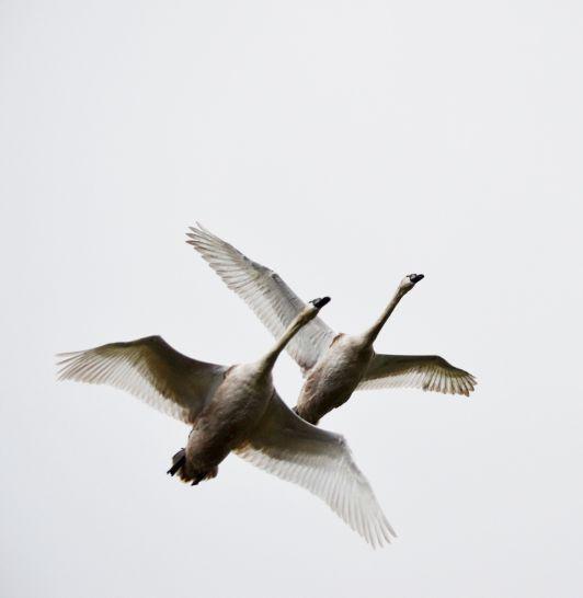 Leaving swans