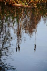 Reed mace in reflection
