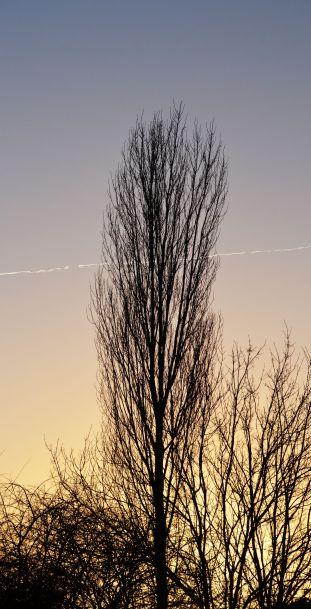 Contrail behind poplar tree