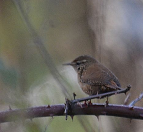 Wren - fairly rare to stay long enough to photograph