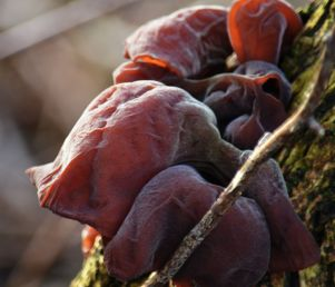 Fungus - jew's or judas' ear