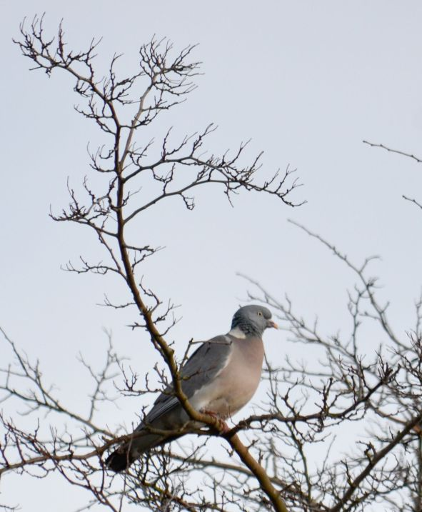 Rock dove (allright it's a pigeon)