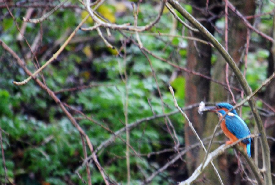 DSC_8541Kingfisher