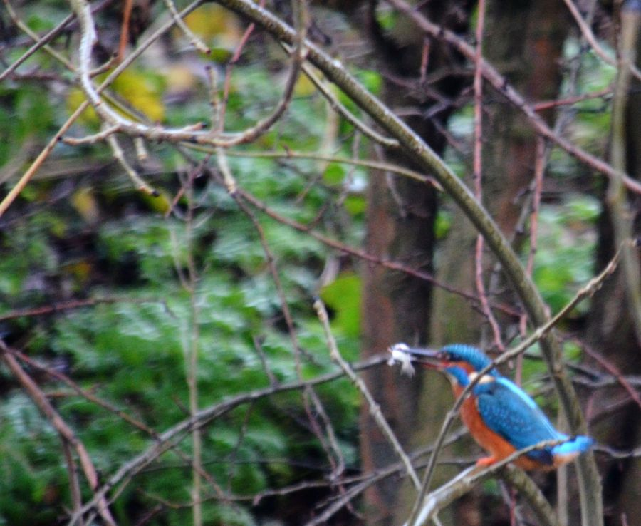 DSC_8544Kingfisher