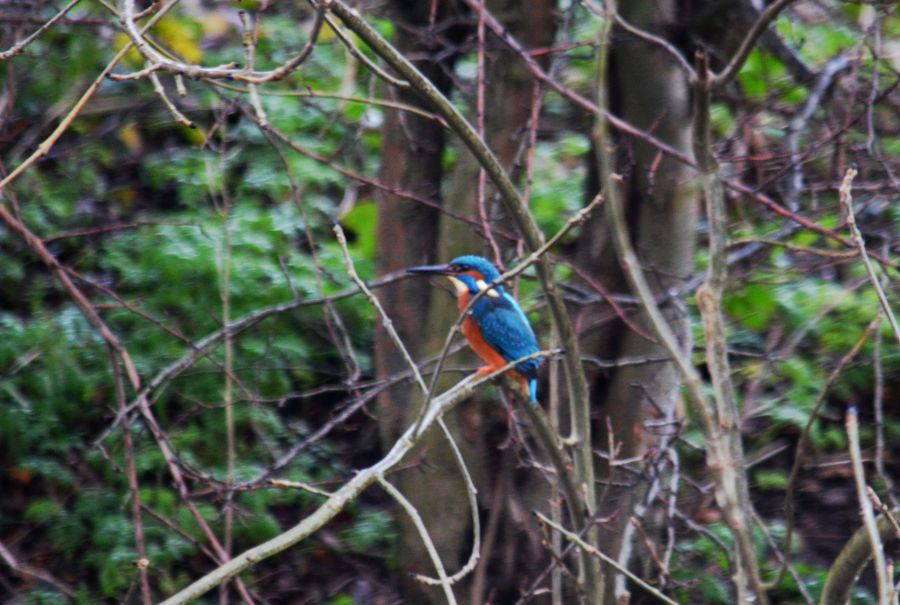 DSC_8550Kingfisher