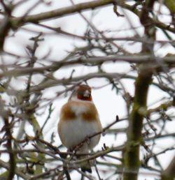 Redfaced goldfinch
