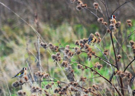 Getting a bit blasé about goldfinches now