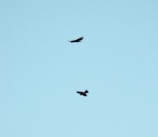 Unusual: pair of kestrels