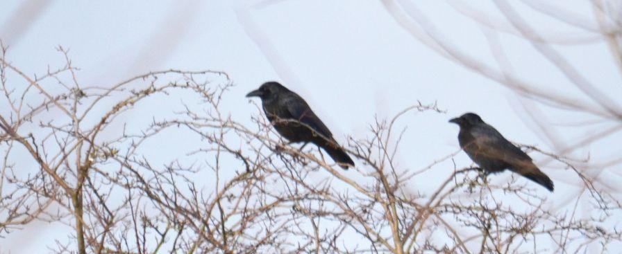 Crow pair