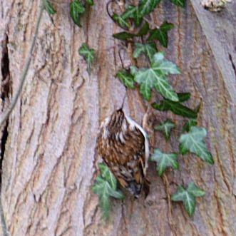 Treecreeper at Turnerwood