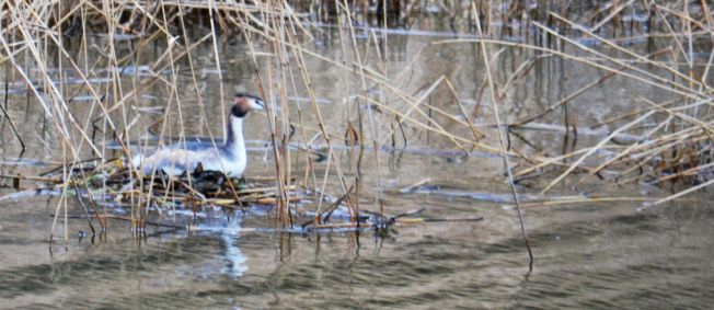 Back on the pond - still on the nest