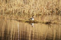 Grebe back on the nest