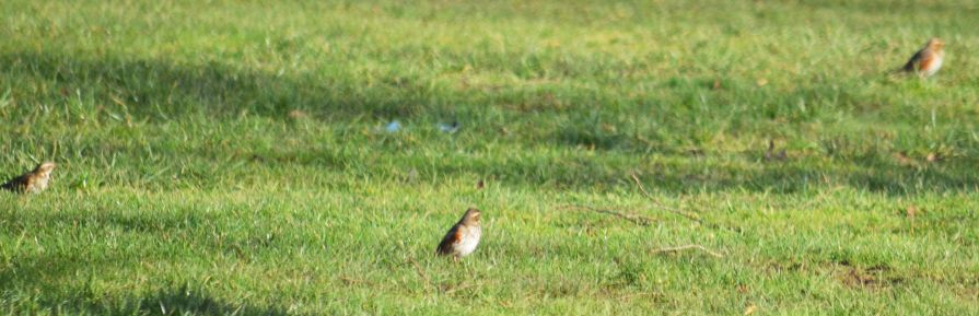 Redwings on the rugby field