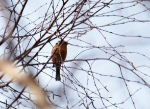 Think this is a bullfinch