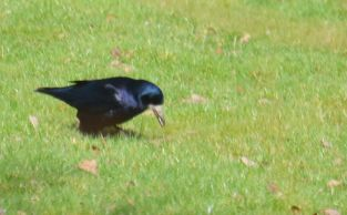 Crow or possibly a rook
