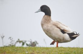 DSC_0113Big Duck