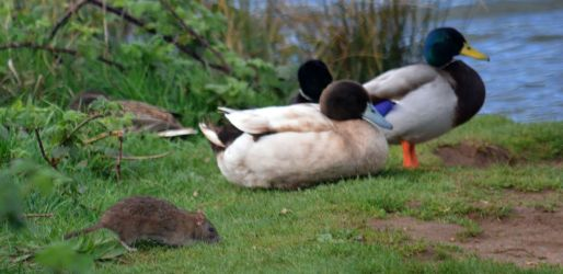Why you shouldn't feed ducks on land