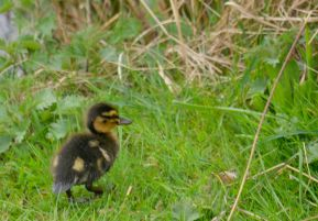 Duckling walking