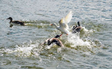 Fighting mallards