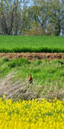 Distant pheasant