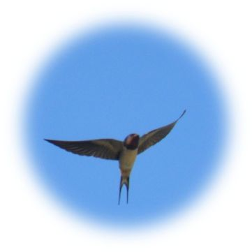 Swallow over Brancliffe farm