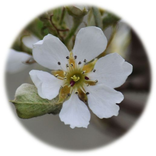 Single pear tree flower