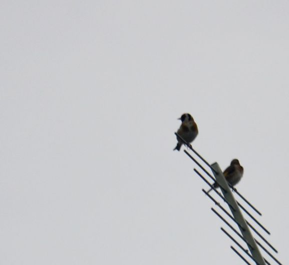 Perching on a telly aerial - goldfinches