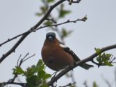 Looking fat - a chaffinch