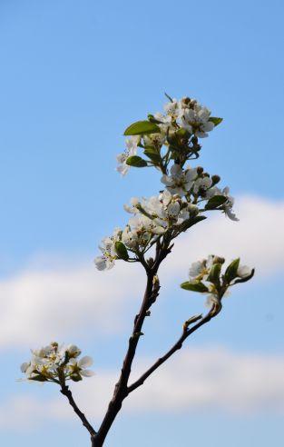 More blossom - pear blossom