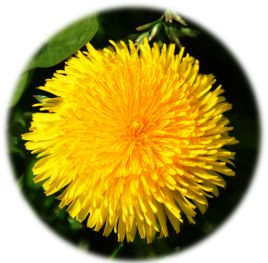 Big fluffy dandelion