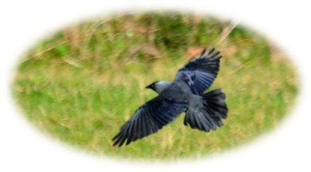 Crow )?)