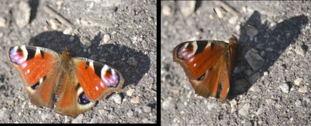 Two views of a peacock