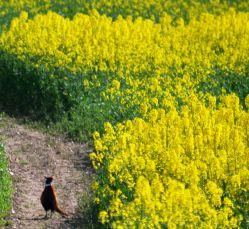 Pheasant in the oilseed rape