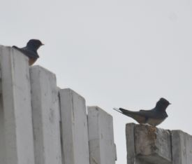 Swallows on the sight screen