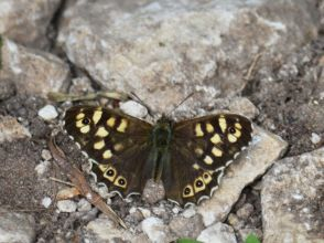 Speckled wood open