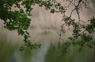 Grebe on the nest through the bushes
