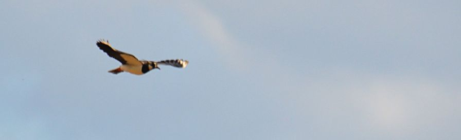 Peewit, or is it a lapwing?