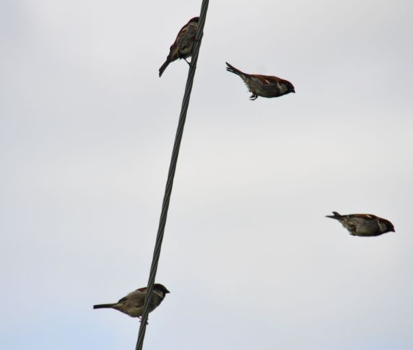 Composite of sparrows